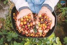 Lịch sử hình thành và phát triển cây cà phê