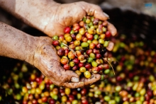 Chất lượng thấm trong từng giọt cà phê