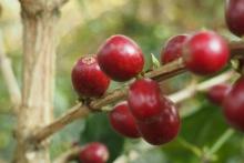 Giống cà phê Timor Hybrid